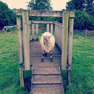 Visited #phillisthesheep in her new home today, good to see her happy but do miss her