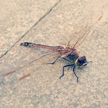 Saw this dragonfly today