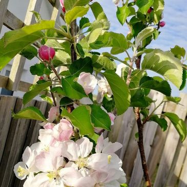 The apple blossom this spring has been amazing.